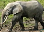 """""""سيلفي"""" مع فيل يكلّف طبيبة بيطرية حياتها !"""