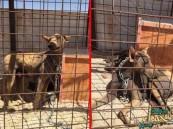 """بالصور.. مواطنون يقبضون على حيوان """"الشيب"""" شديد الافتراس والنادر تواجده"""