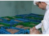 بالصور… الأمانة تضبط مزرعة عمدت تروج أطنان من الدجاج المجمد لبيعه طازجاً في #الأحساء