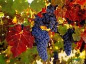 """دراسة: """" العنب"""".. فوائد صحية مذهلة لفاكهة ذُكرت بالقرآن الكريم"""