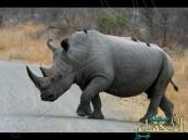 بالفيديو.. وحيد قرن يهاجم سيارة للسياح في محمية برية.. فماذا فعلوا ؟!