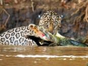 شاهد بالفيديو.. معركة شرسة بين نمر و تمساح فلمن كانت الغلبة ؟