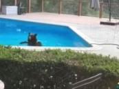 """بالفيديو.. """"دُبّ"""" يتسلل إلى منزل للسباحة بسبب حرارة الجو !!"""
