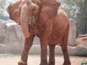 بالفيديو.. أنثى فيل تُلقي حجرًا على طفلة بالرباط وتتسبّب في مصرعها !