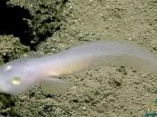شاهد.. العثور على سمكة شبح في قاع خندق يعتبر الأعمق في العالم !