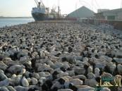 نصف مليون رأس ماشية وصلت ميناء جدة في يوليو