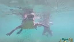 بالفيديو.. رجل يصطحب ابنته لتسبح مع تمساح ضخم !