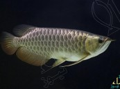 اختراع مذهل.. سمكة تحمل الدواء إلى مناطق محددة في جسم الانسان