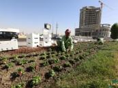 أمانة الأحساء: زراعة مليون شتلة شتوية و4 ملايين لتنفيذ مشروع انتاج الزهور والأشجار التجميلية