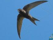 بالفيديو… هذا الطائر قادر على التحليق في الجو 10 أشهر دون توقف!