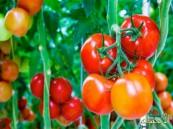 باحثون ألمان: الطماطم تحمي الجلد من التجاعيد