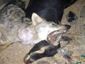 الصياد يتحول إلى ضحية.. ماعز تقتل ذئبا مفترسا غرب الرياض!