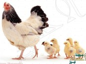 """اليابان تواصل """"مذبحة الدجاج"""" بسبب """"إتش5"""""""