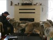 عائلة مقدونية تروض 3 ذئاب وتجعلها حيوانات أليفة