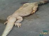 """شاهد.. """"ضب"""" يثير الذعر في منزل بالأردن ويدفع لاستدعاء الأمن: ظنوه تمساحاً !!"""