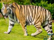 قرية هندية تلقي بكبار السن لتفترسهم النمور