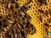 لغذاء ملكات النحل فوائد كثيرة.. بينها تحسين الخصوبة وتعزيز الجهاز المناعي