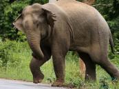 """إعدام """"فيل"""" رميًا بالرصاص قتل 15 شخصاً في ولايتين بالهند"""