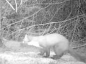 بواسطة كاميرا مُثبتة.. رصد حيوان لم يره أحدٌ منذ 35 عاماً