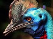 """بالصور.. تعرّف على """"طائر الكاسوري"""": أخطر أنواع الطيور على الأرض !!"""