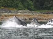 """شاهد.. لقطة مذهلة لظهور مجموعة """"حيتان"""" في شكل متناسق على سطح المياه"""