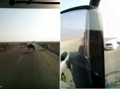 """بالفيديو.. """"سائق"""" يوثق بالصدفة لحظة تسبب قطيع إبل في حادث مروع !!"""