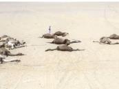 """""""البيئة"""" تكشف السبب وراء نفوق الإبل في الخفجي وحفر الباطن"""