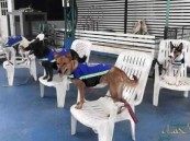 """آخر خبر… """"سترات ذكية"""" تحول الكلاب الضالة في تايلاند إلى حراس للشوارع"""