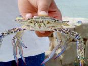 """البيئة"""" تفرض حظرًا على صيد القبقب في الخليج العربي"""