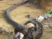 """صورة مرعبة .. قتال حتى """"الموت معاً"""" بين كوبرا وبايثون!!"""