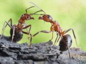 هل يصبح النمل مصدراً للأدوية في المستقبل؟!