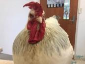 """دجاجة تتحول فجأة إلى """"ديك"""".. والأطباء يتدخلون !!"""