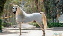 السرطان يُنهي حياة حصان مصري قيمته 10 ملايين دولار