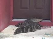 بالصور.. تمساح يحتجز أسرة أمريكية في منزلها طوال اليوم!