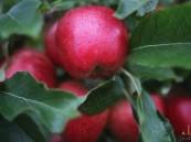 """تعرف إلى """"أغلى"""" تفاحة عادية بالعالم !!"""