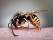 لماذا تموت النحلة بعد لسعها البشر؟!