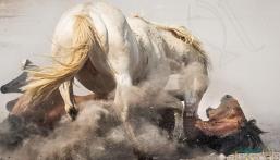 بالصور.. معركة ضارية بين حصانين تنتهي بإصابة بالغة