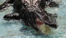 نجا من الحرب العالمية.. هذه الحالة الصحية لأكبر تمساح في العالم !!