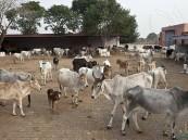"""في الهند .. """"الحيوان المقدس"""" يثير غضب المزارعين!!"""