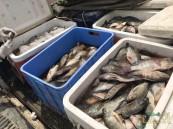 """بالصور في الأحساء… ضبط مقيم ومصادرة 240 كيلوغرام """"أسماك محظور صيدها"""""""