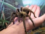 """احتفظ بـ 98 من """"العناكب الضخمة"""" في منزله.. فكانت هذه عقوبته !!"""