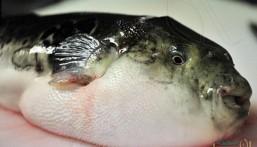 سمكة تبث الرعب بين الليبيين !!