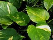 نبات منزلي ينظف هواء منزلك من المواد المسرطنة