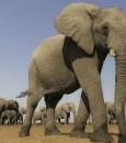 لماذا لا يصاب الفيل بالسرطان؟ العلم يحل اللغز !!