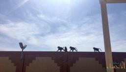 """بالفيديو.. قرود تقتحم مبنى كلية البنات في """"بلقرن"""""""