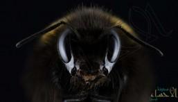 """شاهد… اكتشاف أكبر نحلة في العالم """"انقرضت"""" منذ 3 عقود!"""