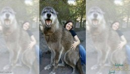 كلب عملاق يثير الذهول.. وفحوص طبية تكشف أصله الهجين