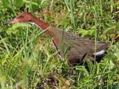 هذه قصته .. طائر يظهر بعد آلاف السنين من انقراضه !!