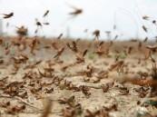"""""""البيئة"""" تكافح الجراد الصحراوي في مساحة 170 ألف هكتار منذ يناير"""