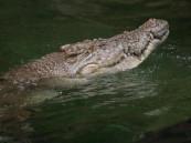 فتاة جريئة فقأت عين التمساح لإنقاذ صديقتها